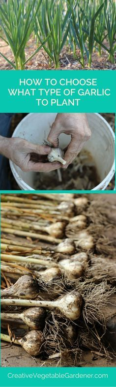 Your different options for garlic varieties to plant explained in this post.