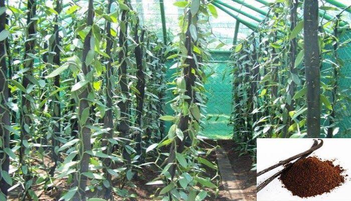 Tanaman Vanili Tumbuh Melekat Pada Pohon Atau Tonggak Yang Disediakan Tanaman Vanili Memiliki Batang Sebesar Jari Berwarna Hijau Tanaman Menanam Pupuk Kompos
