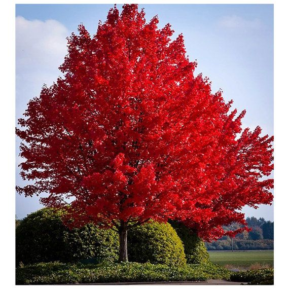 Red Maple Tree Acer Rubrum 1 Gallon Potted Plant Healthy