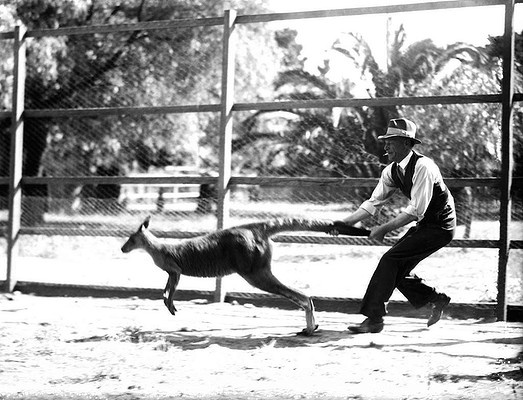 Holding onto a kangaroo by the tail at the Royal Park Zoo, Melbourne. December  7, 1937.