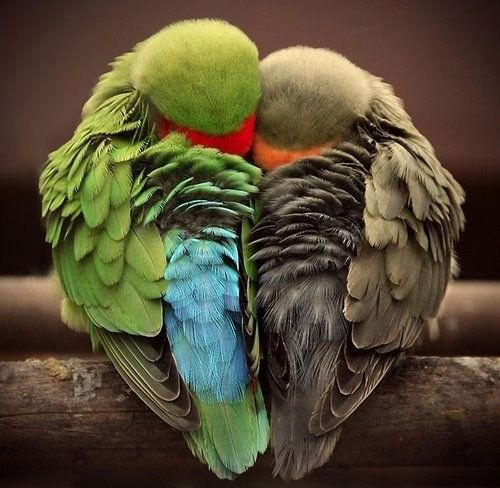 Aww...Snuggles, Friends, Cuddling, Parrots, Little Birds, Colors, Heart Shape, Feathers, Animal Photos