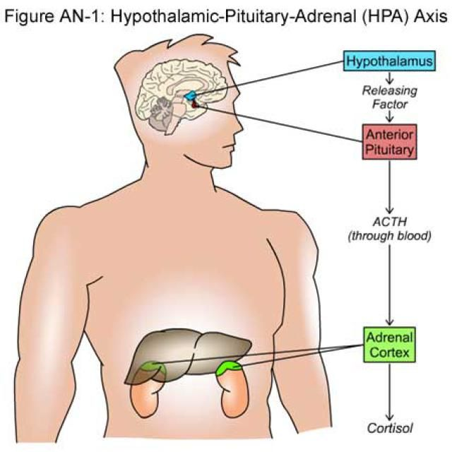 What the Heck is an HPA Axis & What Does it Have to do with Stress?: This is how the three glands of the HPA axis work together to produce cortisol.
