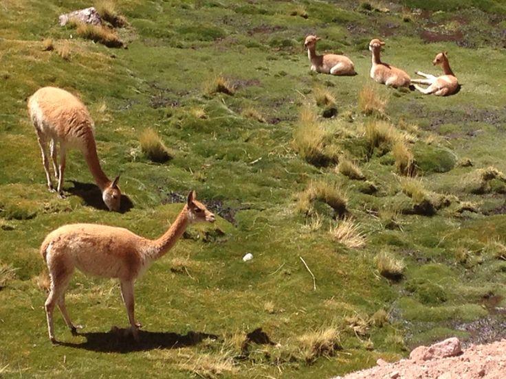 Vicuñas, humedal, altiplano, Machuca, San Pedro de Atacama