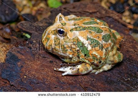Cranwell's (or Chacoan) horned frog (Ceratophrys cranwelli) close-up