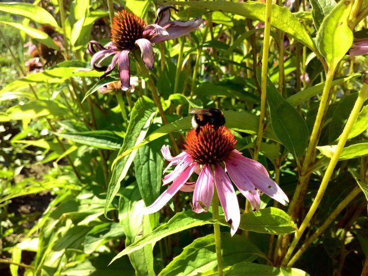 А, знаете что для получения 1 кг меда пчелы должны облететь 2–4 млн. цветков и принести в улей 120–150 тысяч нош по 20–30 мг каждая? У пчеловодов принято считать, что среднее расстояние от улья до цветов не должно превышать 1,5 км. Значит, чтобы собрать нектар для 1 кг меда, пчелам надо пролететь 400 тысяч км! Рассчитайте сами, сколько раз облетела бы пчела вокруг экватора Земли!  #мёд #мёдвсотах #прополис #забрус #пасека #пчела
