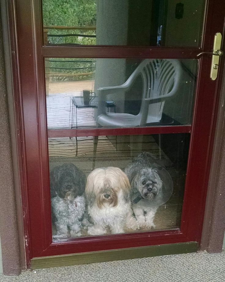 Havanese Rescue fosters Mikey & Gus in Colorado are waiting for their Forever Home.  www.HavaneseRescue.com  @HavaneseRescue