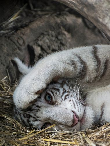 White Bengal Tiger Cub | Olmense Zoo September 2015 | Flickr