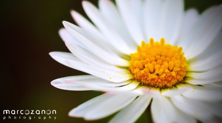 Daisy by Marco Zanon on 500px