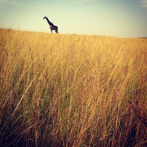 Wonderful giraffe pic - thank you to Getaway and Andrew, especially!: Giraffes Pics, Wonder Giraffes