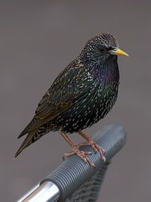 The common starling (Sturnus vulgaris), also known as the European starling photo: Pierre Selim