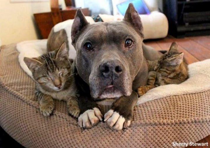 Dois pit bulls de resgate se tornam cães guia para três gatos cegos