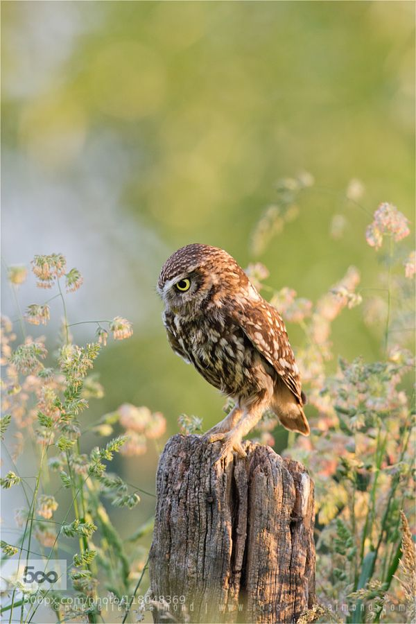 Anticipation - Little Owl Staring At Its Prey by RoeselienRaimond. Please Like…