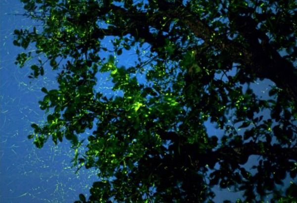 Travel To A Village In Maharashtra To See Fireflies Light Up The Night Sky