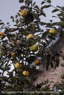 Äpfel // Der Obstweg in Leichlingen. Oder: Warum die Blütenstadt 'Blütenstadt' heißt. http://ausgelatschte-schuhe.de/bergischer-streifzug-obstweg/