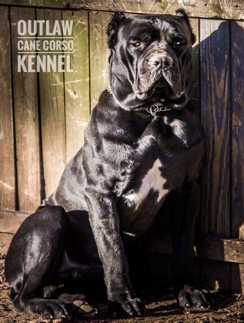 Pin By Gary Morris On Puppies I Want Cane Corso Dog Corso Dog Cane Corso