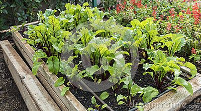 Young beetroot plants grow in a raised wooden garden bed made from wooden planks.