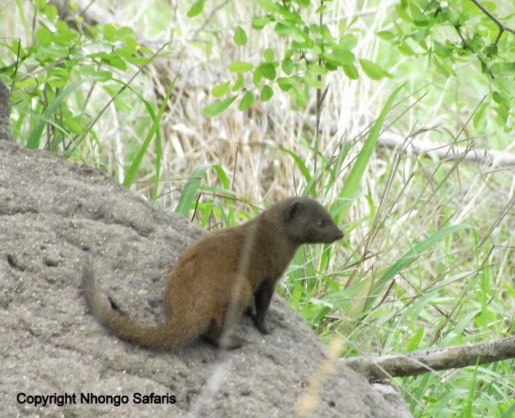 Dwarf mongoose 5