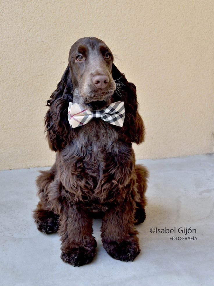 Plaid Burly wood bow tie, bow tie attached to dog collar, high quality Bow, Chic Dog Bow tie, Dog Lovers