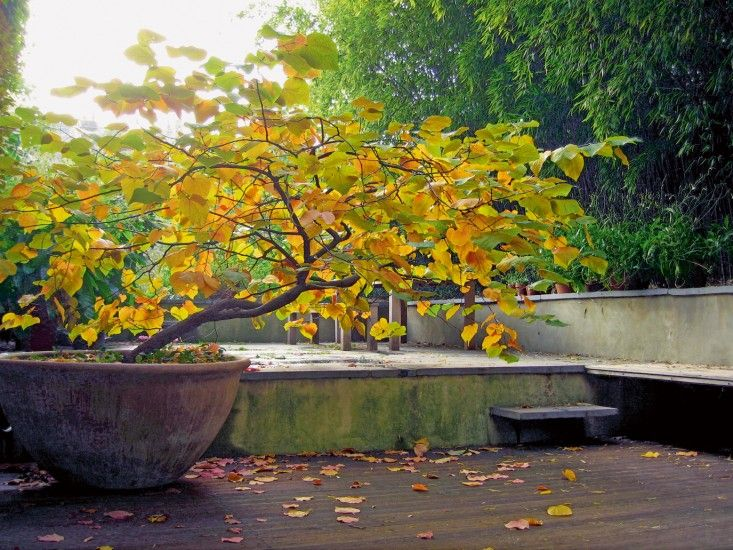 A Cercis canadensis in a pot at the entrance of Dan Pearson's garden. Photograph by Huw Morgan.