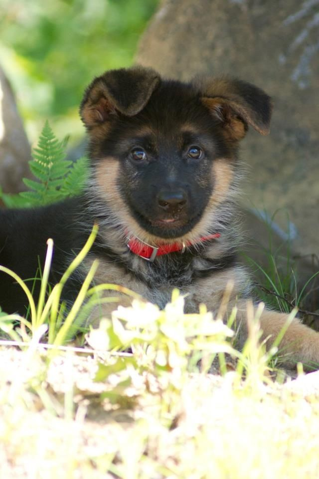 German Shepherd - there is something about a Shepherd that I just can't explain. Best dog on earth.