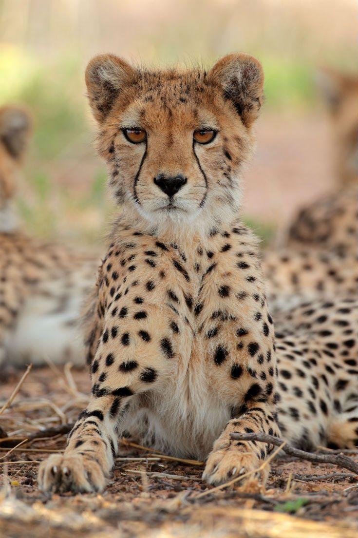 Cheetah in African desert The 17 best