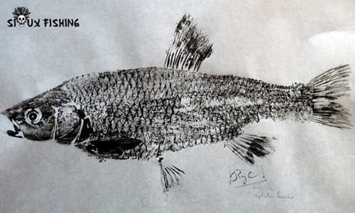 Gyotaku de chevesne