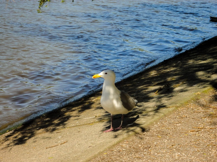 Seagull chillin at Lost Lagoon