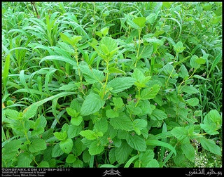Psoralea also called as babchi seeds can cure many diseases that are considered as incurable by the modern medicine.