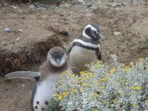 Colonia de Pinguinos de Seno Otway