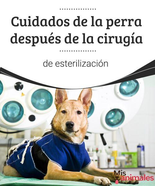 Cuidados de la perra después de la cirugía de esterilización Hoy te hablamos sobre los cuidados luego de la cirugía de esterilización. Aunque la castración es una intervención quirúrgica segura y los animales se recuperan rápidamente, de todas formas deberás prestar atención a que todo evolucione bien con tu mascota. #cuidados #cirugía #esterilizar #consejos