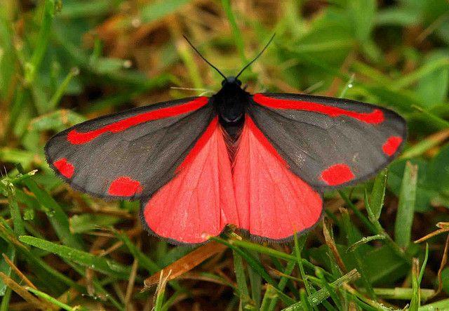 Cinnabar Moth (Tyria jacobaeae) JUNE 16TH 2009 by saxonfenken, via Flickr