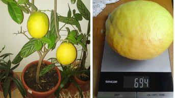 Pozrite, aký citrón vypestovala naša čitateľka