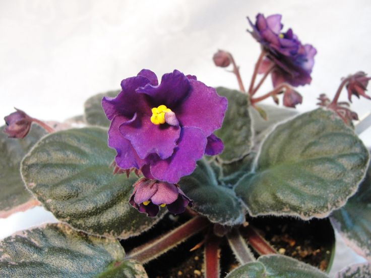 African Violet Buckeye Elderberry Wine African violets