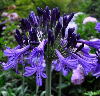 Buy Agapanthus Black Pantha (African Lily) online from Jacksons Nurseries