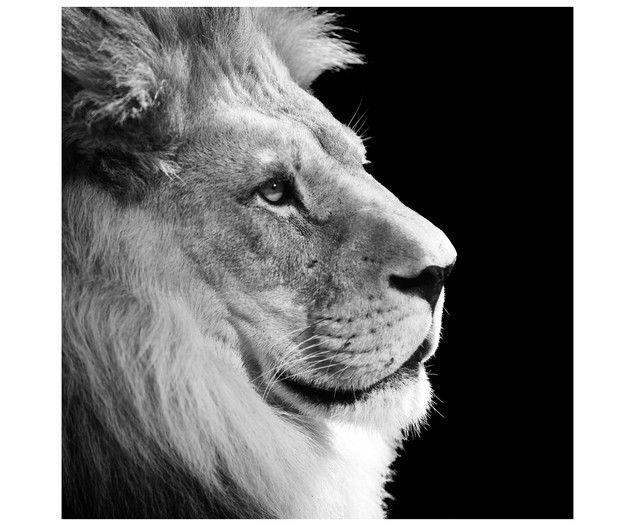 Fabulous Digitaldruck auf Acrylglas Lion Jetzt bestellen unter https moebel ladendirekt