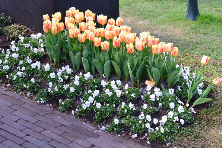 Tulips And Pansies Best Harmonization Front Flower