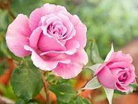 Jak stříhat a prořezávat záhonové a popínavé růže?