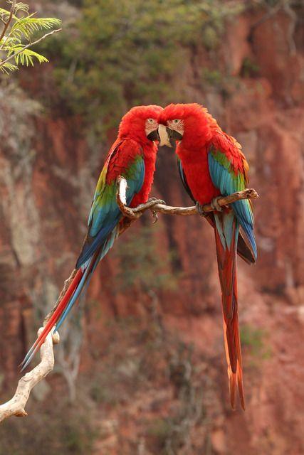 Foto arara-vermelha-grande (Ara chloropterus) por José Casoni | Wiki Aves - A Enciclopédia das Aves do Brasil