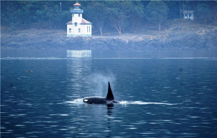 Lighthouse at Friday Harbor, WA, with orca in foreground blowing.