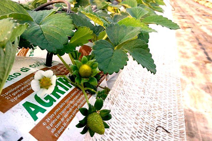 Coltivazione di fragola su perlite e cocco in growbags - strawberry soilless culture on perlite and coco growbags  www.perlite.it/it/agricoltura