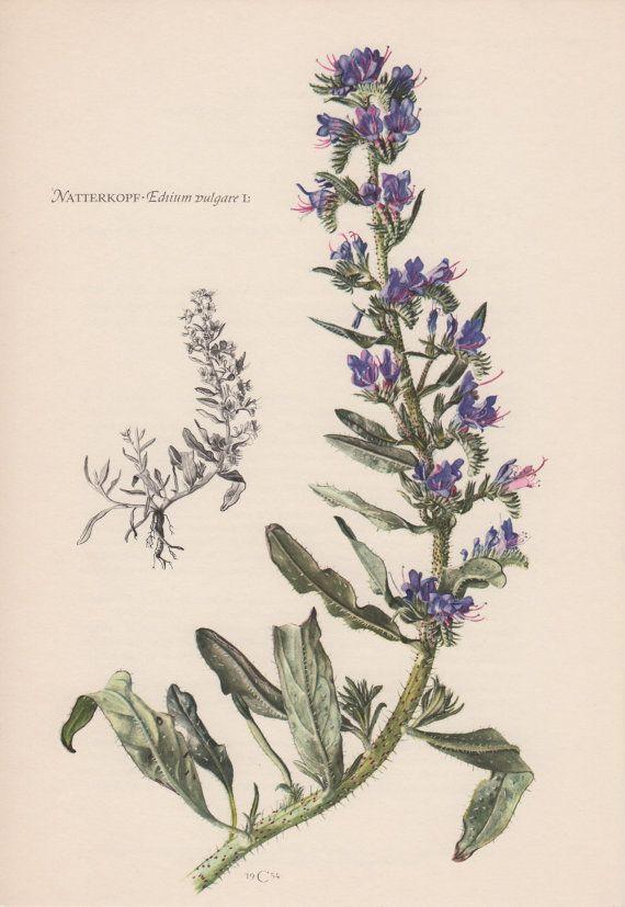1955 Echium vulgare Antique Botanical Print Vintage by Craftissimo, €12.95