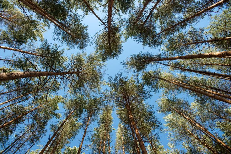 pine trees in the sky - Pine wood in clear weather.