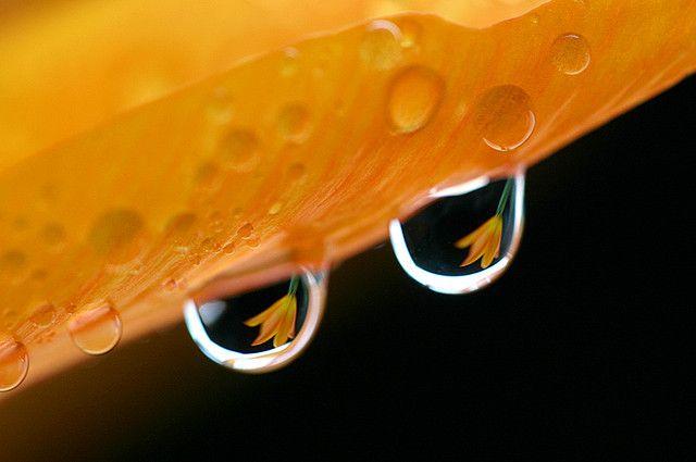 tulip waterdrop (orange)
