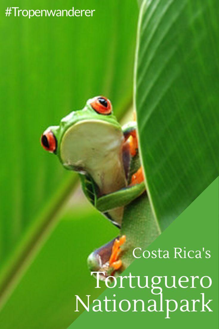 Costa Rica's Tortuguero Nationalpark ist einzigartig schön und verspricht eine Tiersichtgarantie. Lies mehr.  #CostaRica #PuraVida #Tortuguero #Frosch #Biodiversität #Artenvielfalt #Nationalpark #Reisen #Tropenwanderer