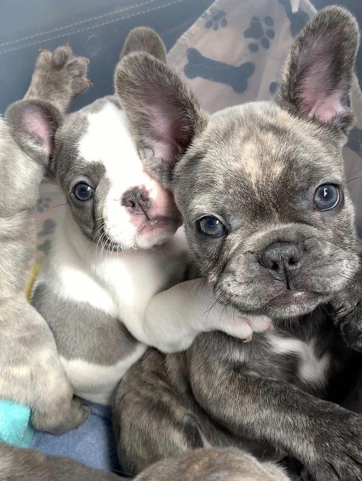 French Bulldog Playful And Smart French Bulldog Puppies Cute