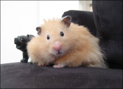 Long Hair Teddy Bear Hamster