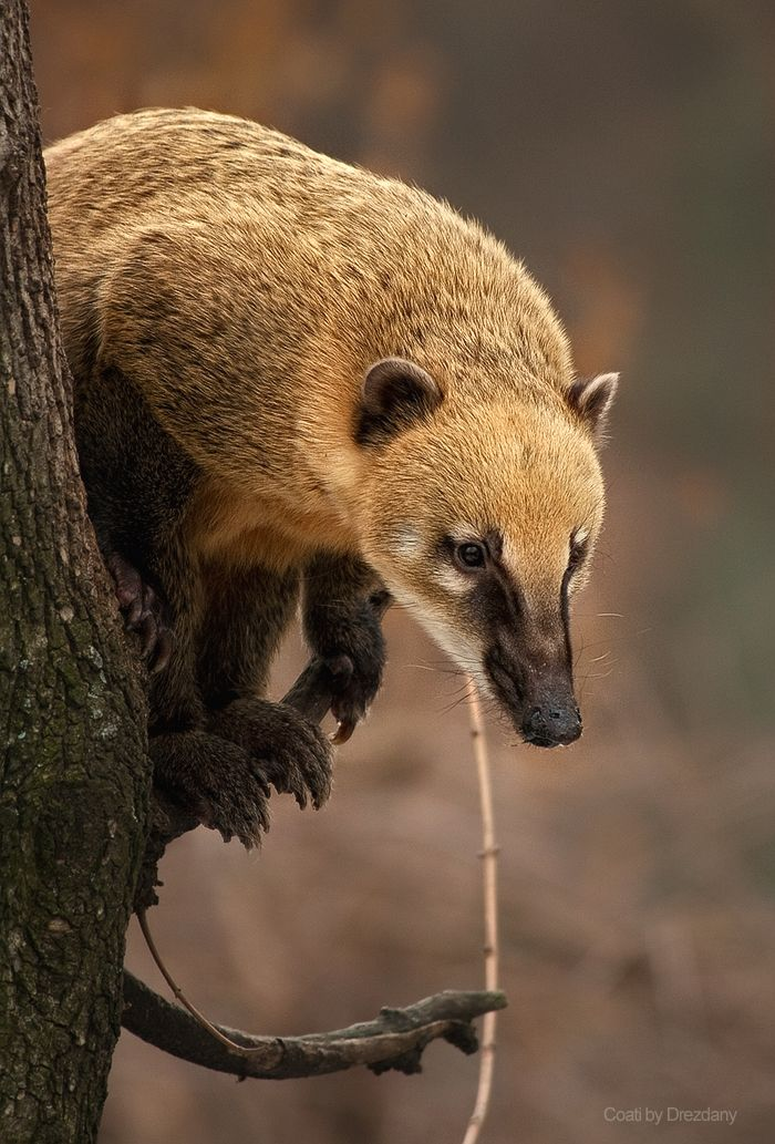 Coati Coatis, genera Nasua and Nasuella, also known as Brazilian aardvarks, Mexican tejón or moncún, hog-nosed coons, pizotes, Panamanian gatosolos, crackoons and snookum bears, are members of the raccoon family (Procyonidae). They are diurnal mammals native to South America, Central America, and south-western North America.