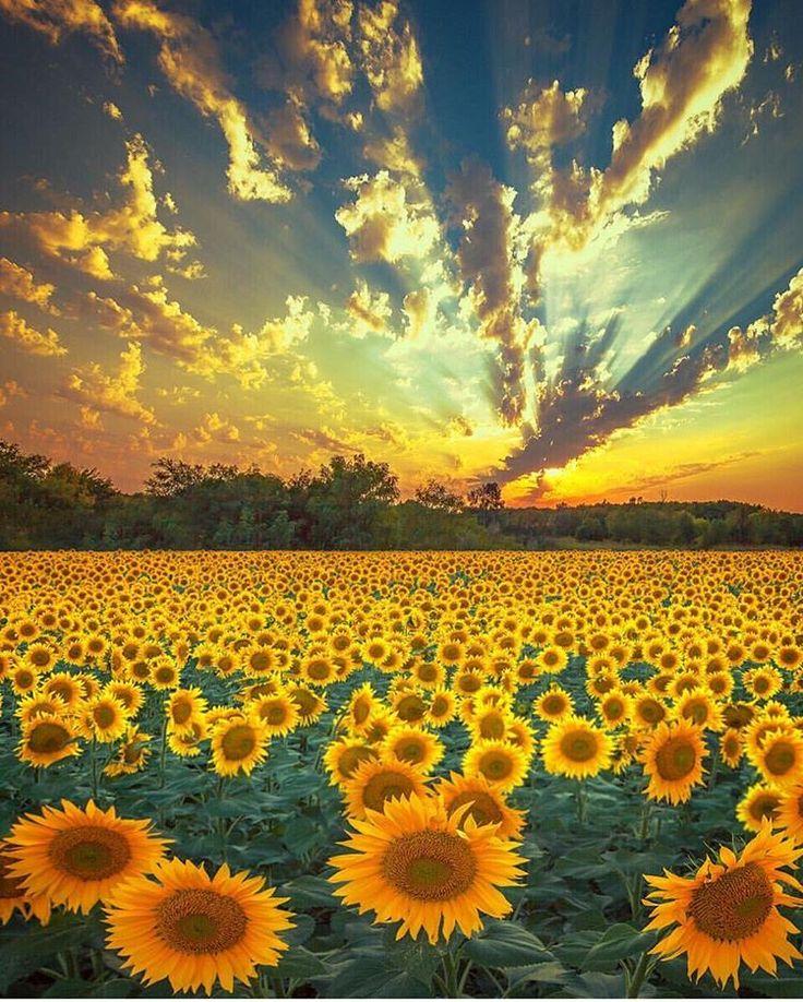 Sunflower 🌻 heaven in Ukraine (avec images) | Photographe ...