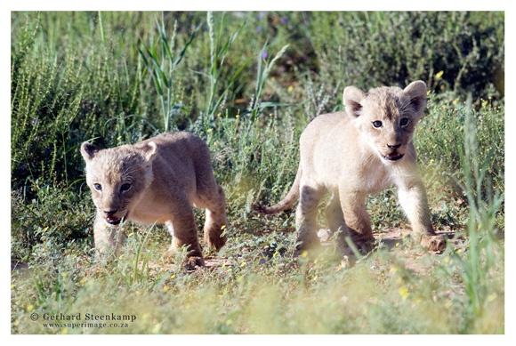 Lion Cubs, Kgalagadi Transfrontier Park, South Africa
