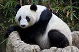 Panda at Washington Zoo